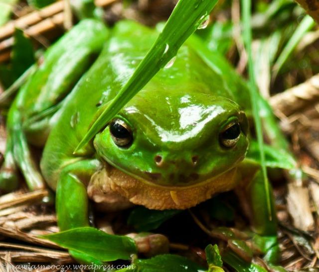 taką oto żabkę znalazłam pewnego dnia w sedesie :)